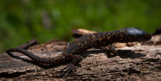 Tropical Night Lizard - Lepidophyma flavimaculatum - 20130617 - 4
