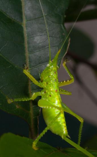 Juvenile female