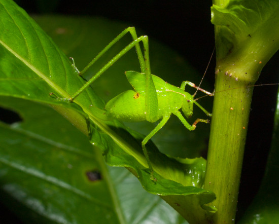 Orthoptera Tettigoniidae - 20130714 - 11