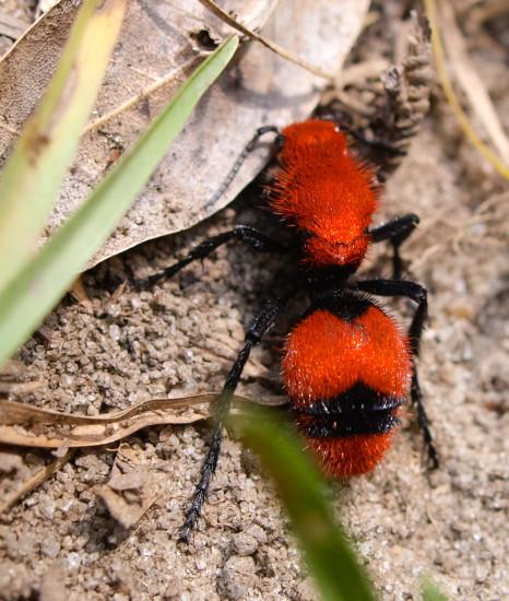 Cow Ant - Mullidae - 09.13.2013 - 14.00.42