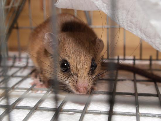 Nyctomys sumichrasti - Vesper mouse - Cricitidae - 07.25.2013 - 07.27.37